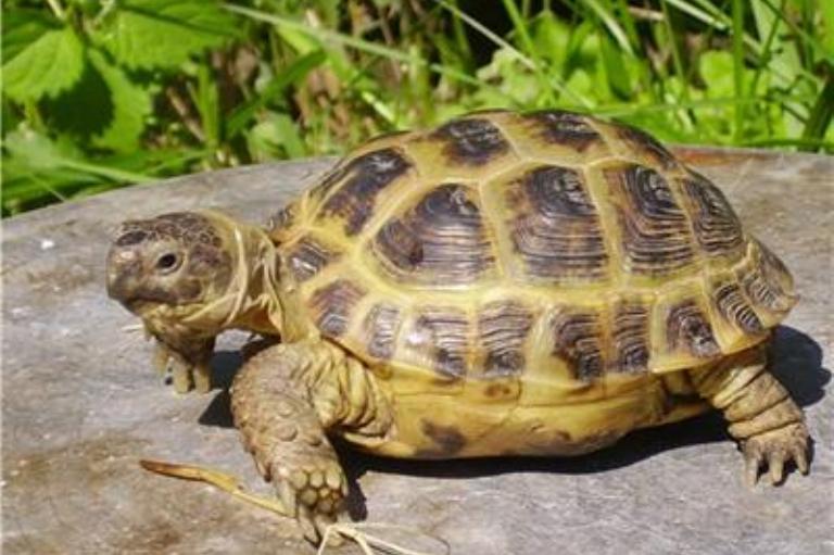 Как живет в домашних условиях сухопутная черепаха
